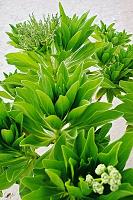 Maledivská zeleň