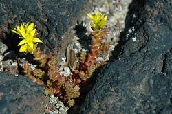 květ mezi kameny