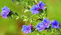 modré květiny