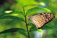 thajský motýl